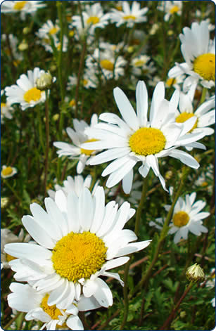 No wildflower meadow is complete without Ox Eye Daisy, this hard working easily established flower will keep going from May until September.