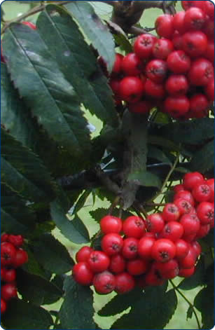 Rowan Tree - an ideal housewarming gift.