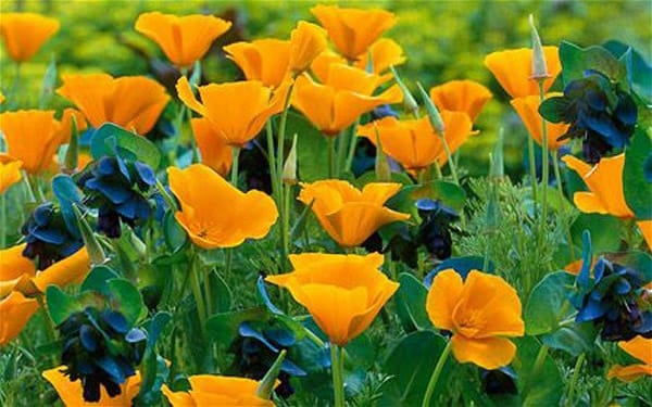 Californian Poppies with Cerinthe