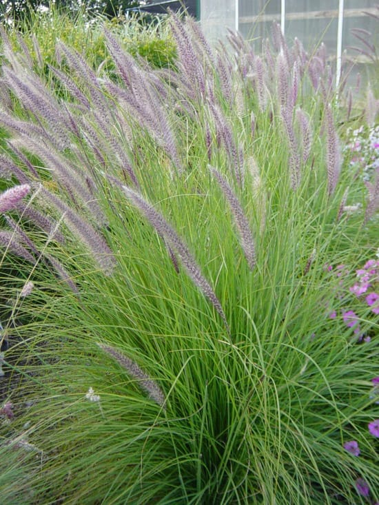 Pennisetum Mountain Ruby Grass