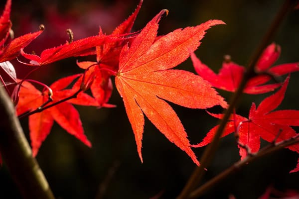 Acer palmatum leaves at Westonbirt credit Paul Groom