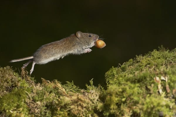 Bank Vole (Clethrionomys glareolus) frozen mid leap with hazel in mouth