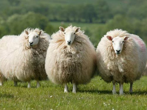 cheviot sheep