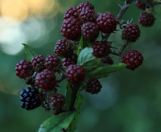bramble bush