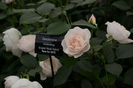 Our pick of the new floral introductions for 2015: Desdemona, from David Austin. Heavenly scent, strong repeat flowering, beautiful flower with a delicate blush and strong foliage.