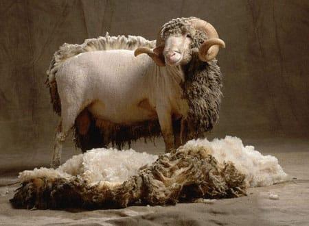 Merino lamb half fleeced
