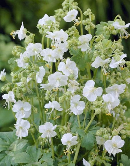 Image source: Pinterest Plant densely for low maintenance. Gernamium macrorrhizum 'White Ness' is a pretty semi-evergreen ground cover.