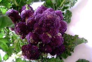 Purple Sprouting Passion