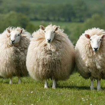 Celebrating UK Wool Week: 6th – 11th October 2014