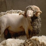 All You Need to Know About Caring for Lambswool