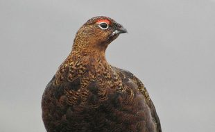 A Hume Guide to Grouse Shooting